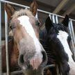 Дерзкое похищение лошади: конокрадов задержали в Сморгонском районе
