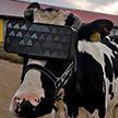 Коровам на подмосковной ферме выдали очки виртуальной реальности