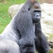 В Германии расстреляли единственную выжившую в пожаре гориллу