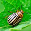 Самые простые и эффективные методы борьбы с колорадским жуком