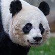 Самая пожилая гигантская панда в США родила медвежонка
