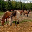 Олени, лошади и коровы: как живёт мясная ферма в Дзержинском районе?