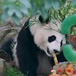 Трогательное видео: панда получила в день рождения ледяной торт в американском зоопарке