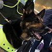 Наркобарон из Колумбии предложил 70 тыс. долларов тому, кто уничтожит полицейскую собаку
