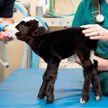 Фотофакт: самый маленький в мире бычок найден в США