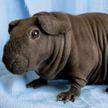 Китаец купил щенка, который оказался бамбуковой крысой