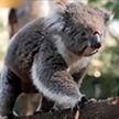 В Австралии коал возвращают в восстановленные после пожаров леса