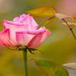 Ботанический сад приглашает полюбоваться цветущими розами