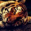 Полиция Хьюстона спустя неделю нашла тигра, бродившего по городу
