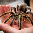 Женщина завела 35 тарантулов, чтобы избавиться от страха перед пауками
