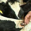 Ферма «Вензовец» в Гродненской области: надои слабые, хозяйство банкрот и выхода из ситуации никто не ищет