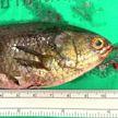 Рыба-ползун заползла в горло подростку и застряла