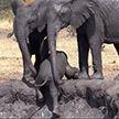 Слоны хоботами вытащили попавшего в яму детёныша