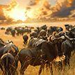 Путешественник смог снять на видео гигантское стадо антилоп