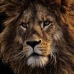 Львы едва не растерзали работницу зоопарка в Австралии