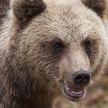 Медведь укатил мусорку с марихуаной в США (ВИДЕО)
