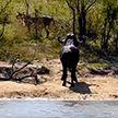 С одной стороны львы, с другой – крокодил, но старый буйвол спасся