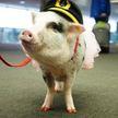 В аэропорту Сан-Франциско работает поросенок для борьбы с аэрофобией