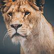 ЧП в цирке на Кубани: львица напала на девочку