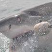Мужчина голыми руками снял с крючка акулу и попал на видео