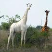 Последняя в мире самка белого жирафа и ее детеныш убиты браконьерами в Кении
