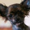 Развеяны главные мифы о маленьких собаках