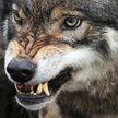 Смертельная схватка у дороги: новое нападение волка в Столбцовском районе