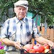 Огромный помидор вырастили в Кобринском районе (Фото)