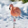 На 30-градусном морозе в Якутии нашли фламинго