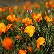 В США распустились цветы мака, туристы в восторге (Фото)