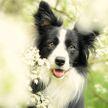 Самая умная в мире собака умерла в США