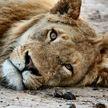 В зоопарке Праги у двух львов и самца гориллы обнаружили COVID-19