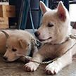 Предназначались для супа: двух щенков чиндо спасли защитники животных в Южной Корее