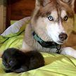 Хаски спасла семерых котят, брошенных в лесу