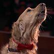 Собака спела и прошла в следующий этап шоу талантов (Видео)