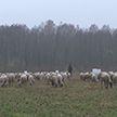 Фермер из Кобринского района рассказал, почему выгодно заниматься овцеводством в Беларуси