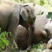 Душераздирающее видео: слонёнок отчаянно пытался вернуть к жизни убитую мать