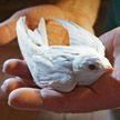 Чёрный стриж-альбинос обнаружен в Германии