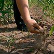 Из-за засухи южные регионы Беларуси могут лишиться значительной части урожая