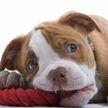 Хозяин запретил щенку кусать подушку, но малыш отомстил. Посмотрите, что он сделал – такого никто не ожидал! (ВИДЕО)