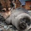 ФОТОФАКТ: Собака взяла под опеку детеныша нерпы