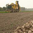 На полях продолжают убирать урожай свеклы