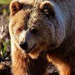 Медведь попытался угнать автомобиль в Калифорнии (ВИДЕО)