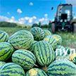 Первый урожай арбузов собрали на подворье Президента