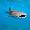 Видеофакт: аквалангисты освобождают огромную акулу, запутавшуюся в верёвке