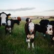 Коровы насмерть затоптали пастуха в Браславском районе