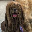 Брошенного пса подстригли волонтеры. Теперь собака – звезда интернета