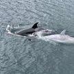 Редкий кит-убийца белого окраса удивил туристов и попал на видео