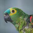 Попугай не смог выбрать коробку из двух предложенных – его метания рассмешат вас до слез!