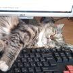 Кот мешает работать за компьютером? Простой лайфхак предложили в сети 🐱